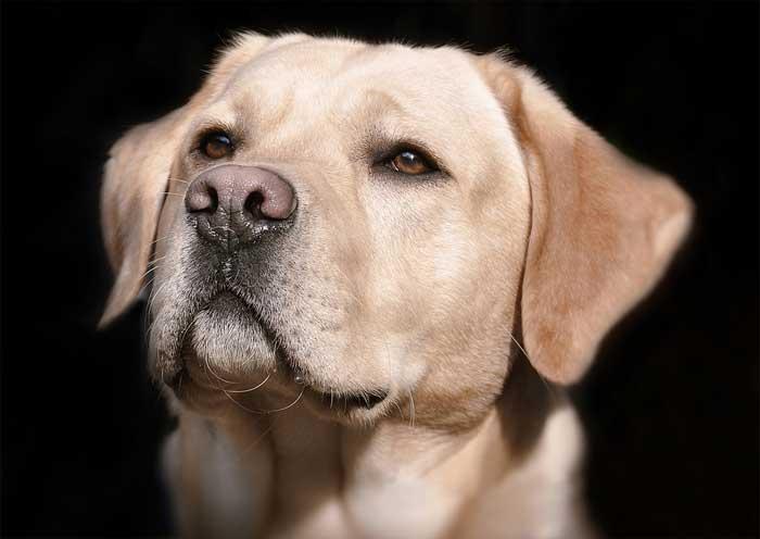 Heller Labrador