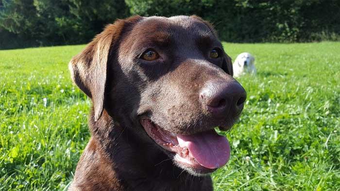 Schokobrauner Labrador