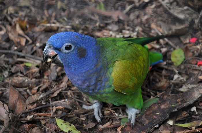 Blaugrüne Amazone in Brasilien