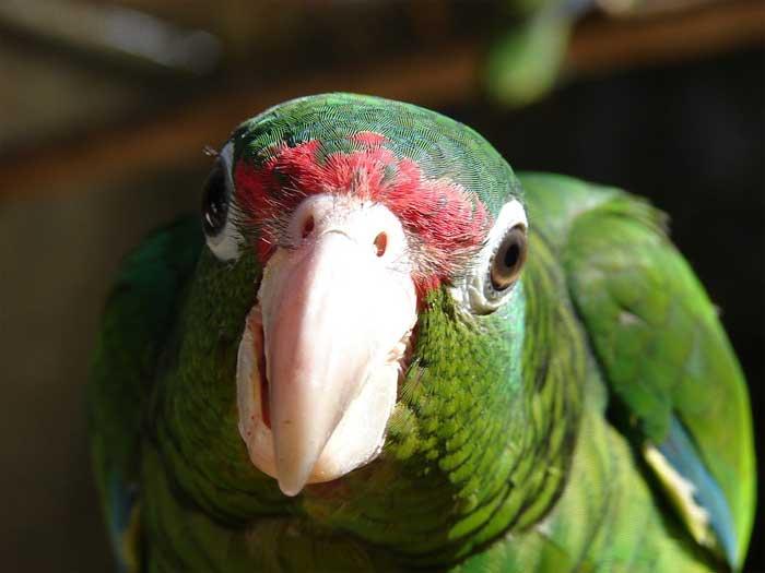 Neugierige Amazone aus Puerto Rico