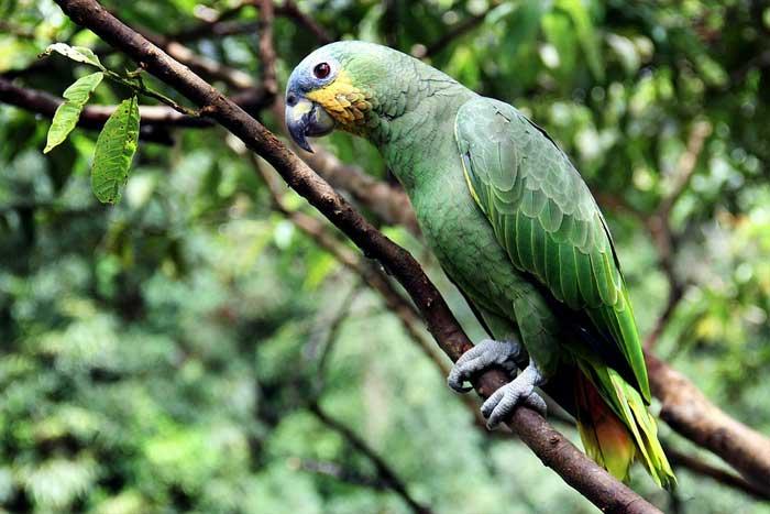 Amazone im Regenwald am Amazonas
