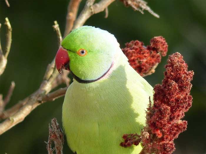 Halsbandsittich auf einem Essigbaum