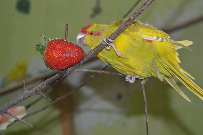 gelbe-roter Ziegensittich