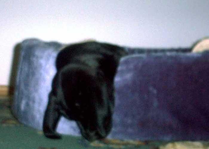 Labrador Welpe im Tiefschlaf