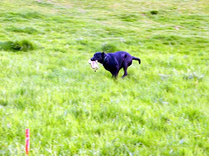 Labrador mit Dummy
