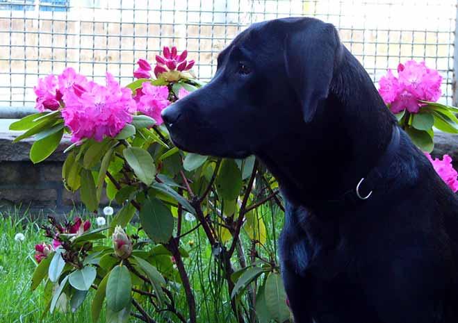 Labrador vor Rhododendren