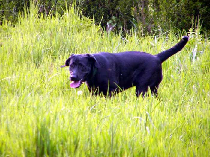 Labrador im Gras