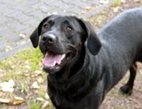 Lolle, ein Labrador